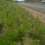 Highways Willow pole planting